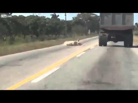 heo nhay duong - Chú heo nhảy khỏi xe tải